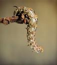 Pine Hawk Moth Caterpillar by pamelajean