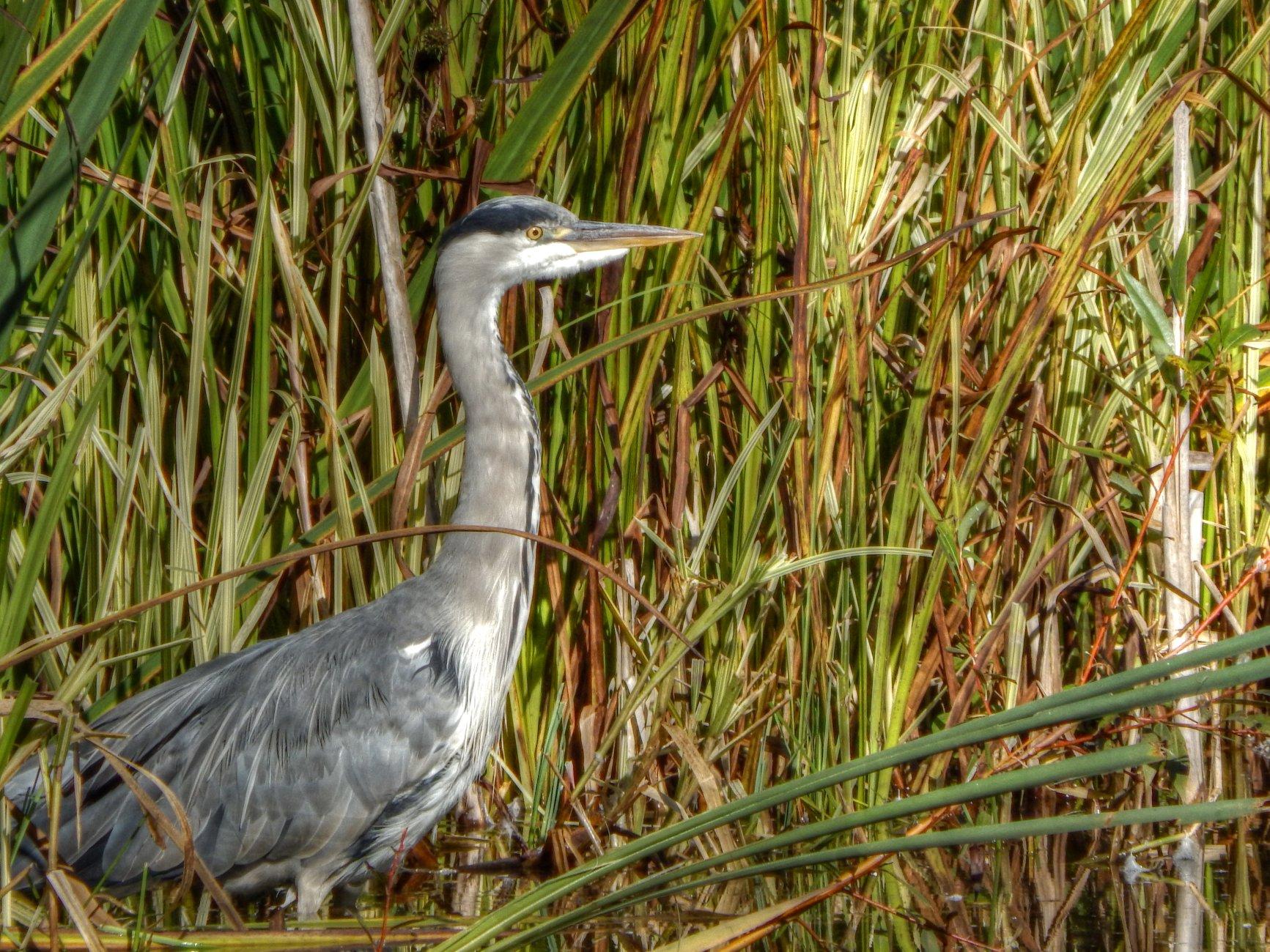 Binghams Pond (Heron)