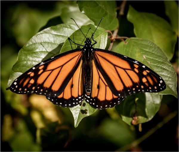 Monarch by KingBee