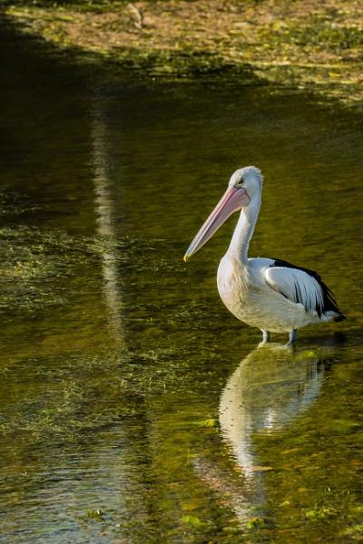 Pelican by terra