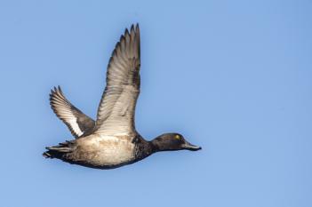 Duck BIF