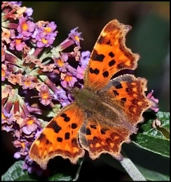 Comma in our Garden.
