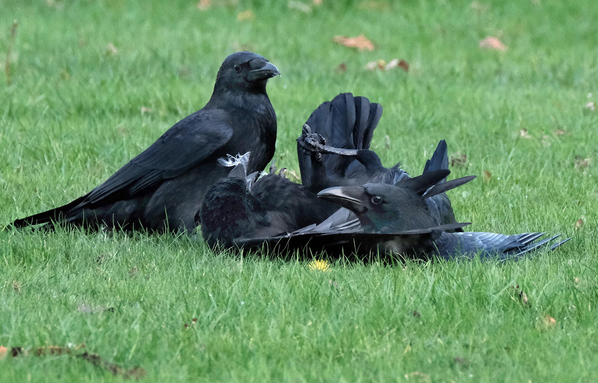 Crow Wars!