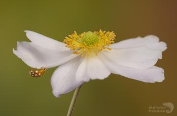Orange ladybird on anemone
