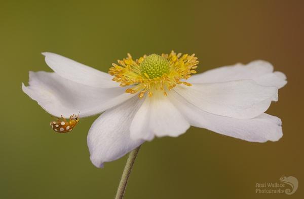 Orange ladybird on anemone by Angi_Wallace