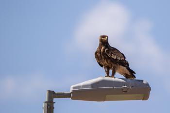 Steppe Eagle sat on lamp post