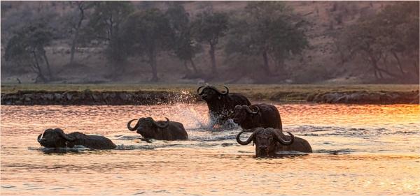 Buffalos crossing the Chobe by mjparmy
