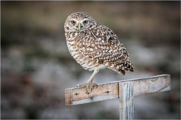 Owl by mjparmy