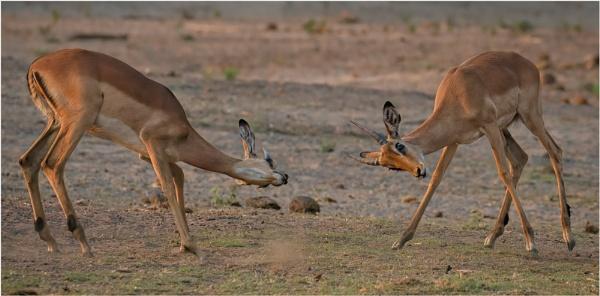 Impala by mjparmy