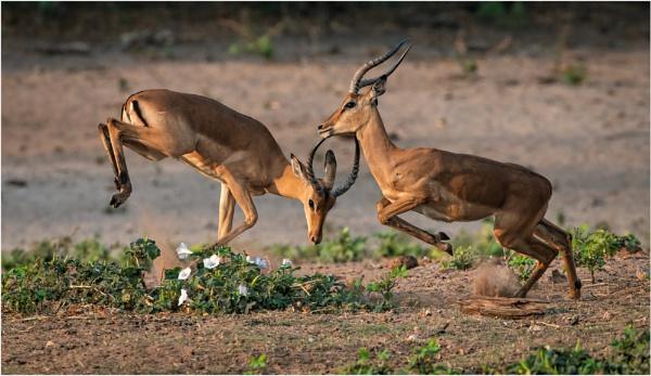 Impala antics by mjparmy
