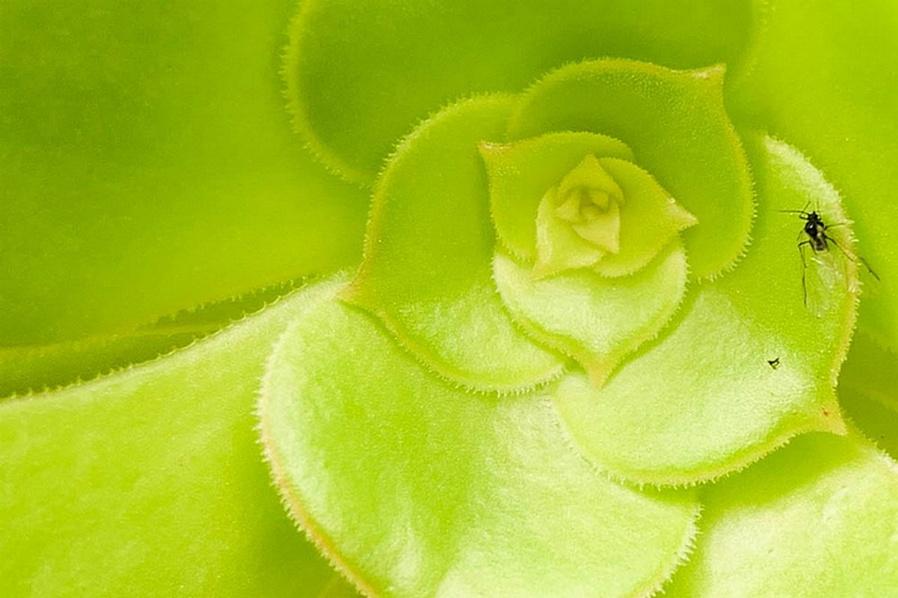 Aeonium canariense (Giant Velvet Rose)