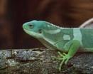 Fijian Iguana by Alan_Baseley