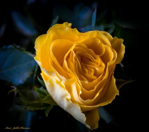 Yellow Rose (of Texas ?). by Jukka