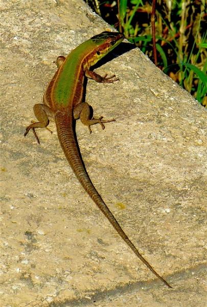 Lizard and shadow. by ddolfelin
