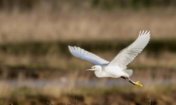 little egret by alanb