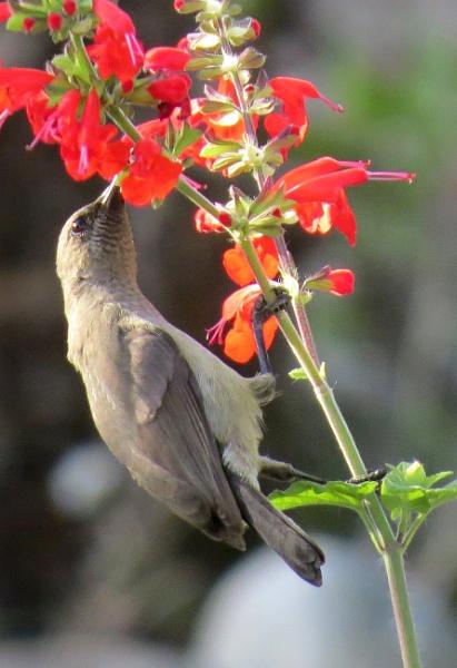 Mrs Sunbird by Hermanus