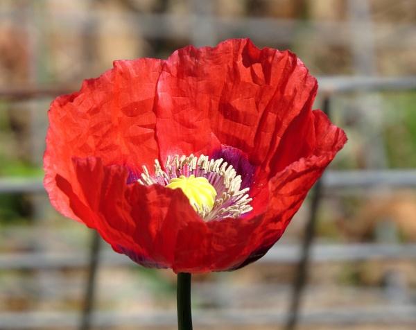 Red poppy by Hermanus