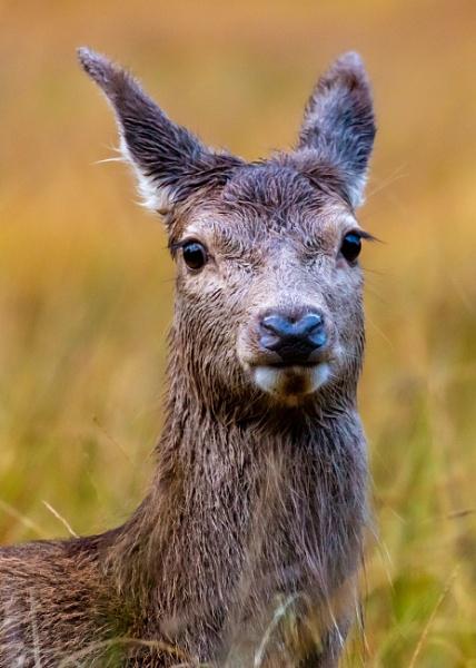 Red deer by trusth