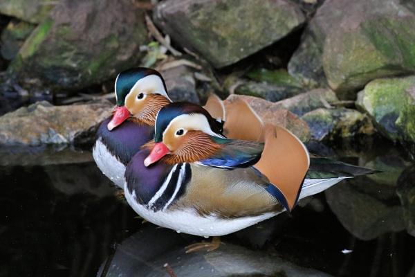 Two Little Ducks by Steveo28
