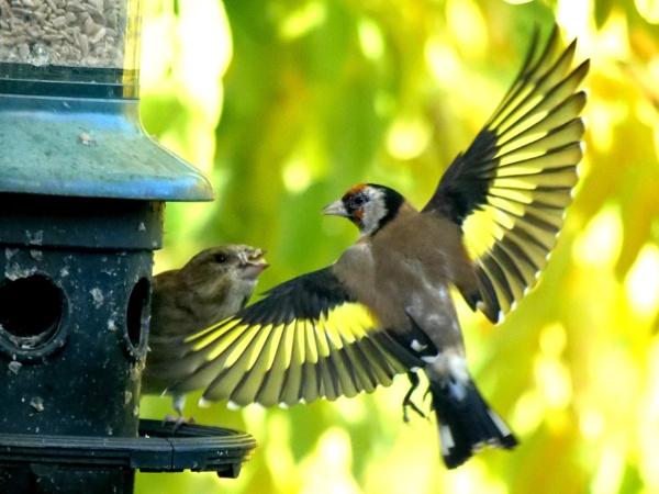 Goldfinches by DerekHollis