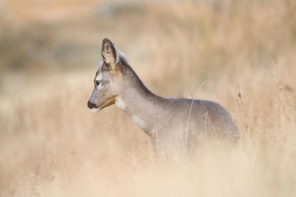 little deer by chainshot