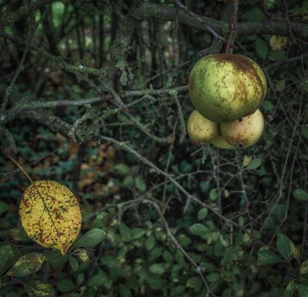 Apple leaf by BillRookery