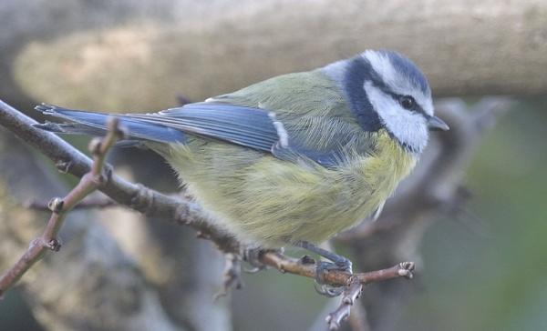 Birds Bluetits by robertsnikon
