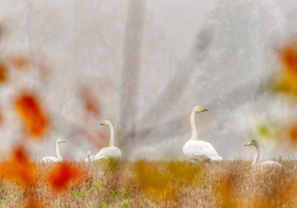 Whooper swans in Espoo by hannukon