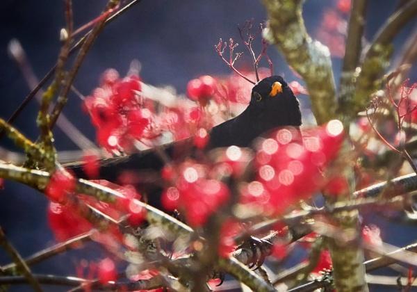 Blackbird in Nurmijärvi by hannukon
