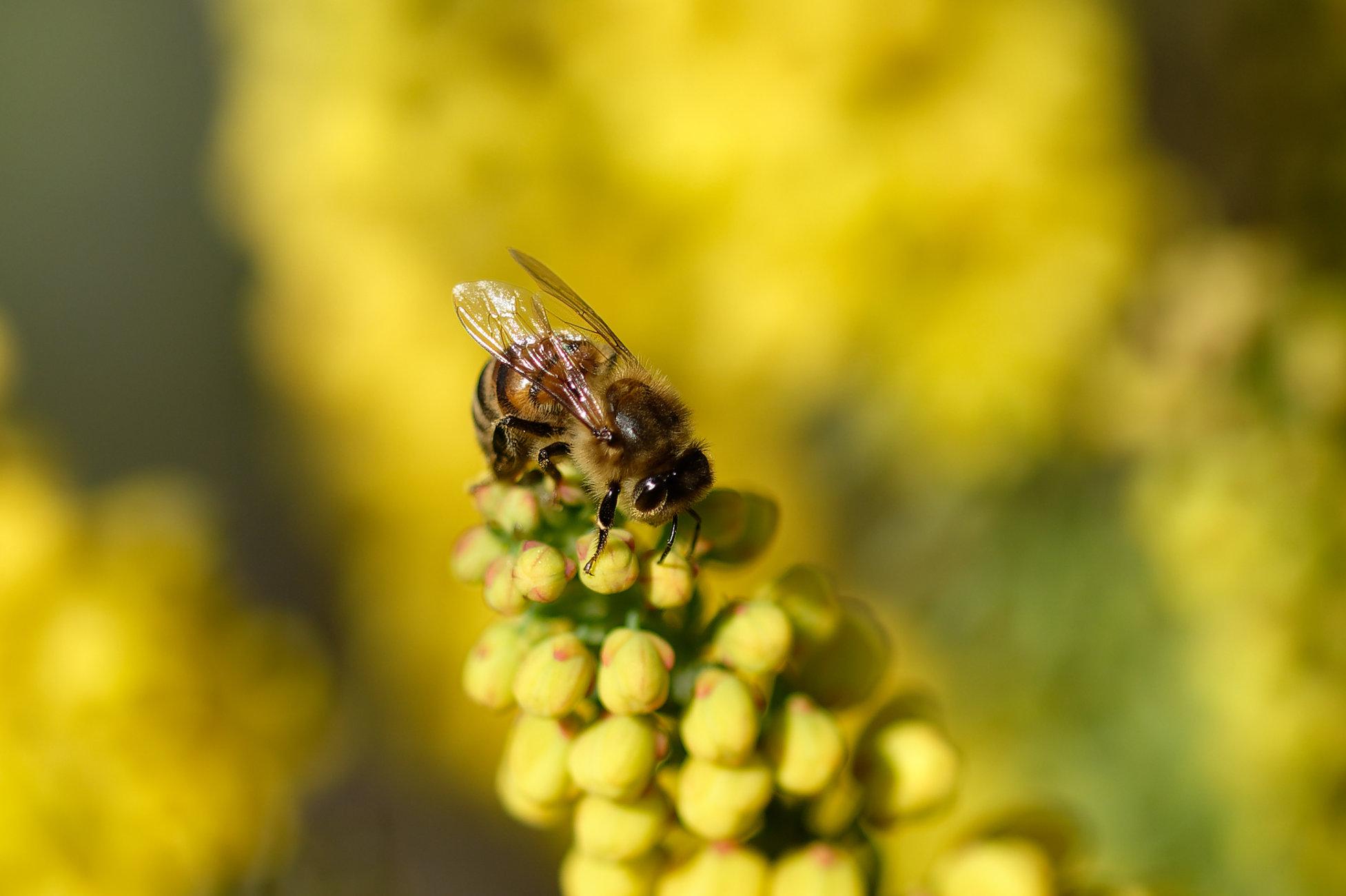 Bee on Mahonia.