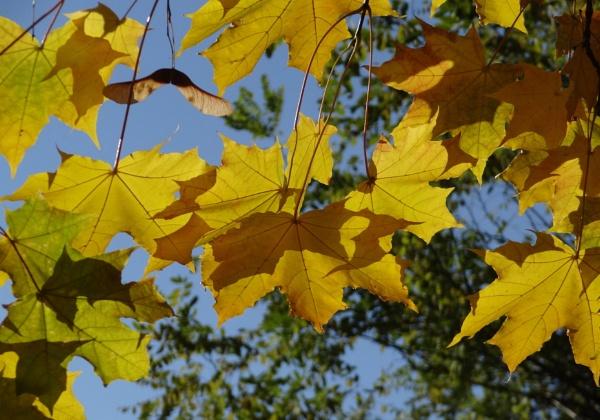 Maple leafs in autumn sun by SauliusR