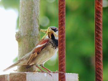 Sparrow from Nesebar