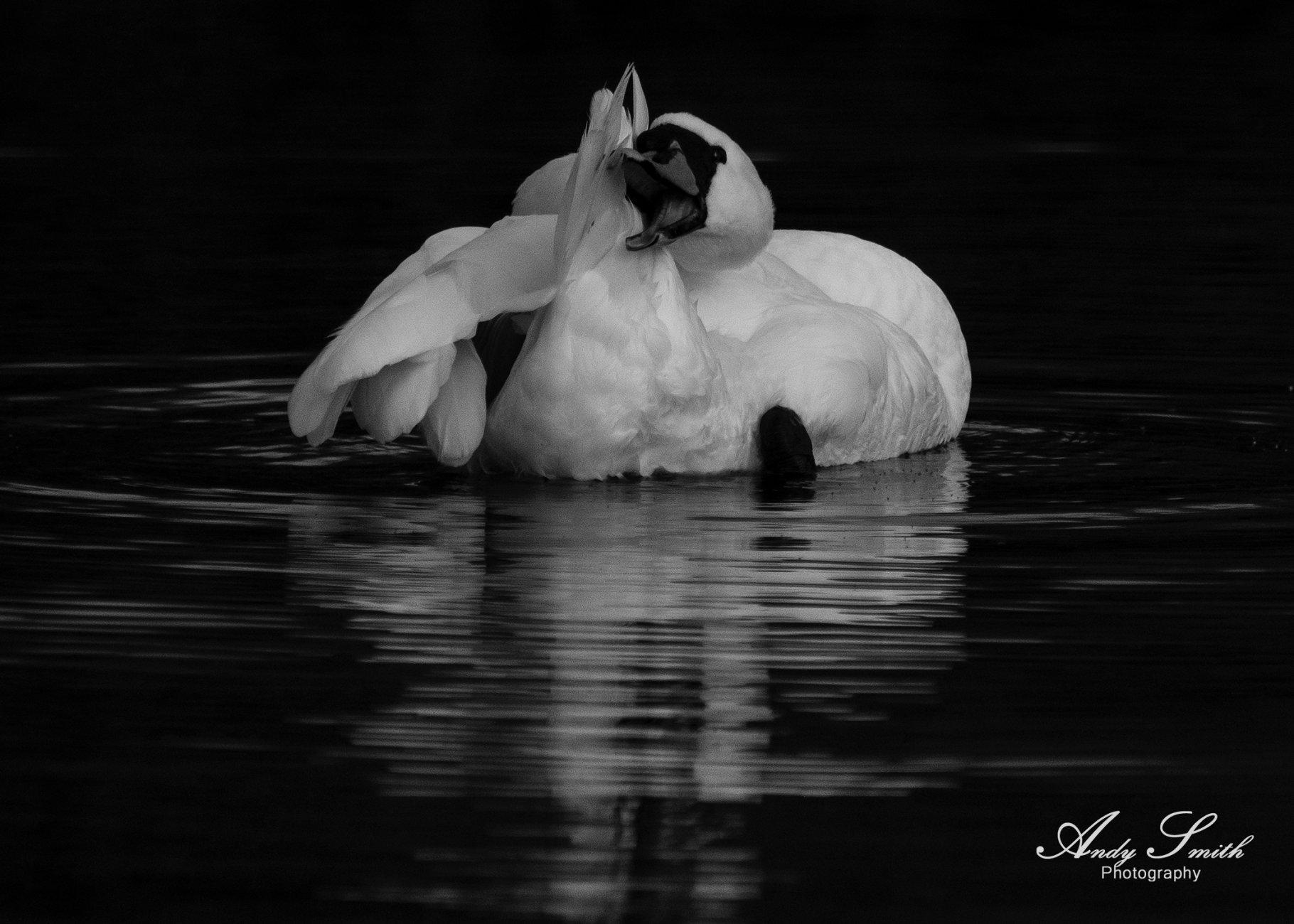 Swan in mono