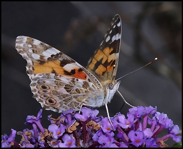 Painted Lady... by Badgerfred
