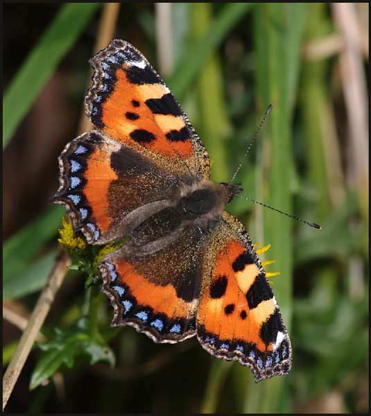 Small Tortoiseshell 02.. by Badgerfred