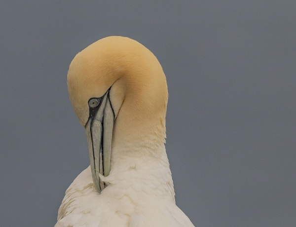 Gannet by Mike_Smith