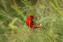 Cardinal Finch by Silverzone