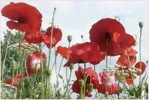Poppies by jimlad