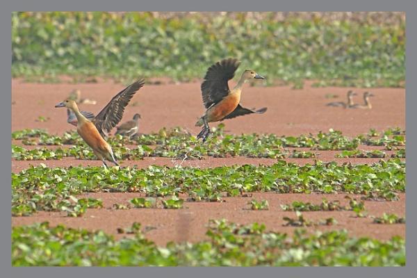 Lesser Whistling Ducks by prabhusinha