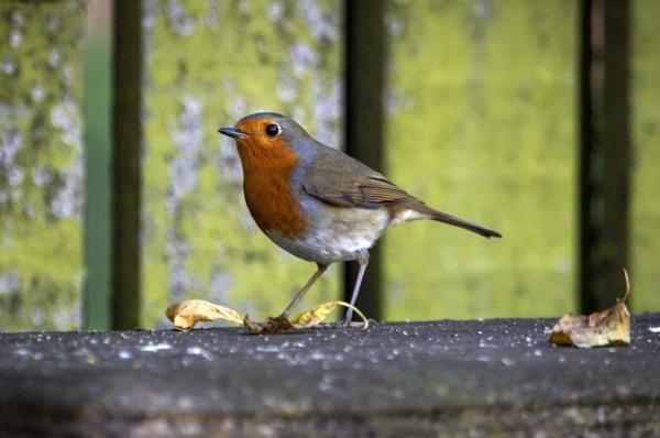 Resident Robin by Eddie91