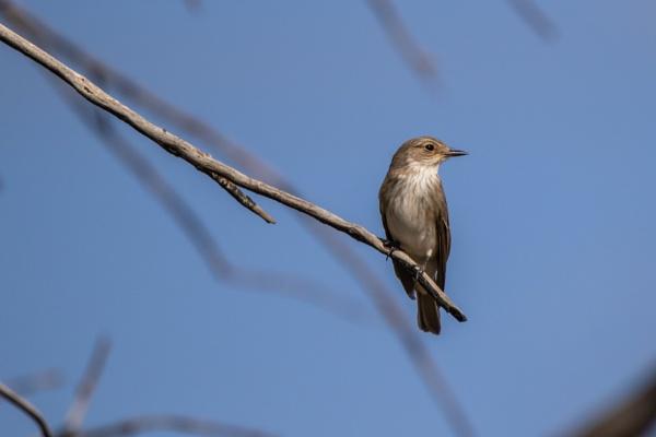Spotted Flycatcher by WorldInFocus