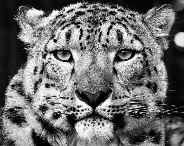 Snow Leopard by nclark