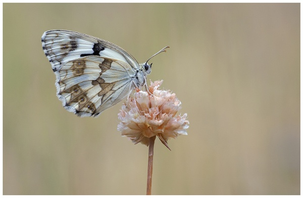 Iberian Marbled White. by NigelKiteley