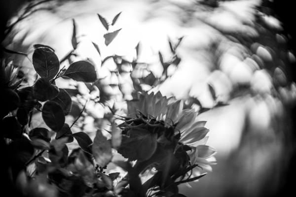 Sunflower in mono by dudler