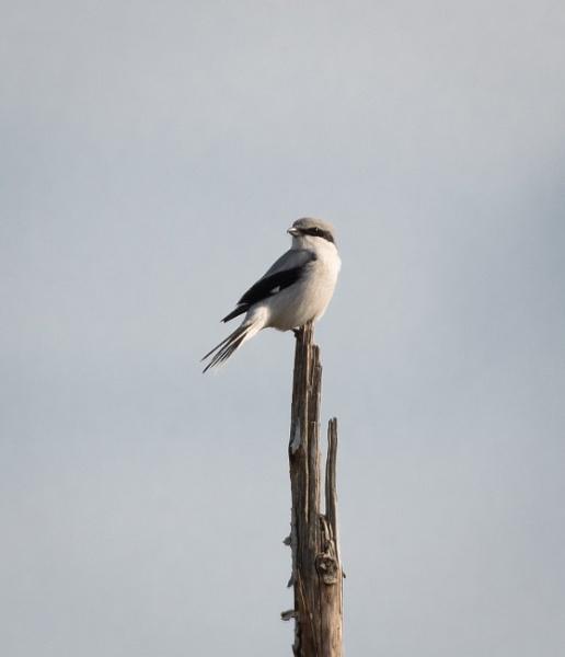 Great Grey Shrike by jasonrwl