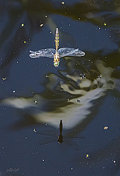 Dragonfly & reflection by paulknight