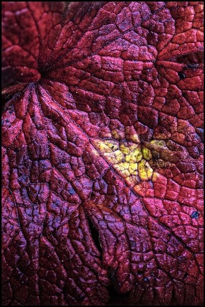 Geranium Macro.... by Niknut