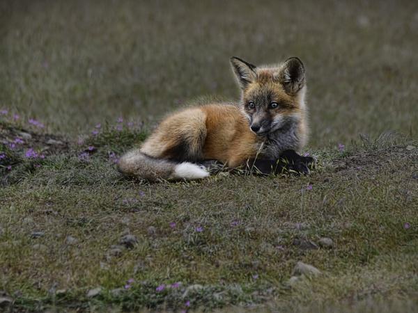 Fox Cub by RSK