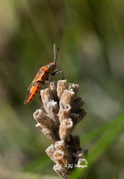 Rhopalidae Bug, Corizus hyoscyami