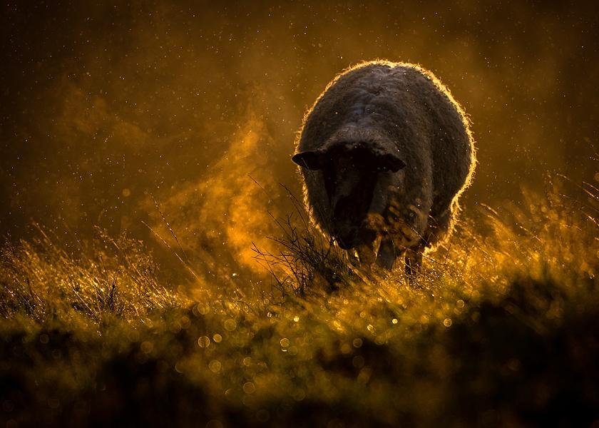 Early Morning Sheep